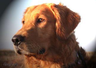 golden-retriever-dog-pet-animal-2