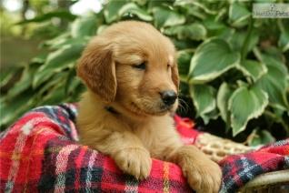 golden-retriever-puppy-picture-01321892-c163-4177-bce3-8ee4323186b4